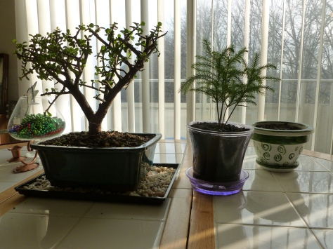 My plant menagerie.  This is my bonsai tree, pine, and in the seemingly empty pot is my burro that I hope to grow.