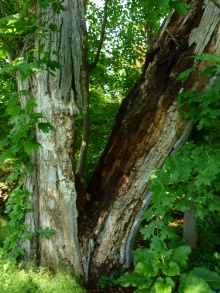 First we found this crazy looking tree in the cemetery.