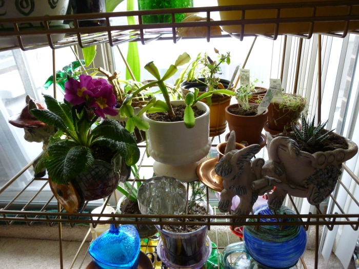 My middle shelf of plants.  This is where I keep a cluster of my smaller plants.