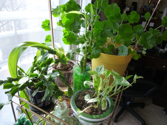 The top shelf of my plant rack.  Btw, that large plant is a geranium.  It was so tiny when I planted it.  Now look at it!